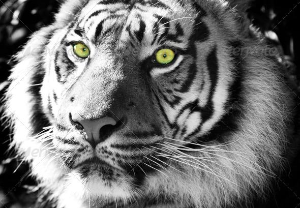 Green tiger eyes - photo#19