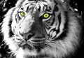 Black and White Tiger with Green Eyes - PhotoDune Item for Sale