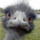 Ostrich_sm