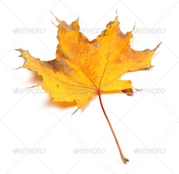 Dry autumn maple leaf - Stock Photo - Images