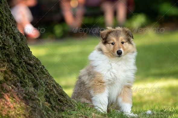 of Collie puppy on meadow - Stock Photo - Images