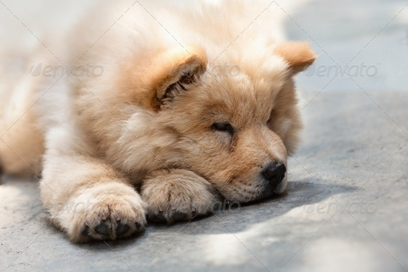 Cute puppy chow chow - Stock Photo - Images