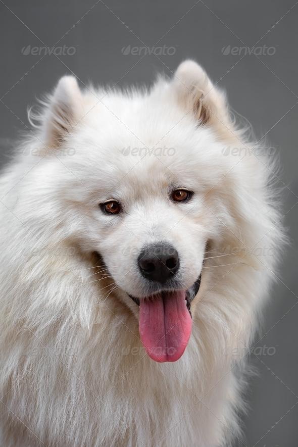 Portrait ofl dog - Samoyed - Stock Photo - Images