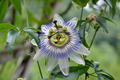 flower Passiflora - PhotoDune Item for Sale
