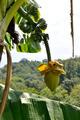 Musa Basjoo (Japanese Banana) - PhotoDune Item for Sale
