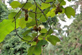 Actinidia fruit on the liana - PhotoDune Item for Sale
