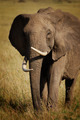 Seasoned Elephant - PhotoDune Item for Sale