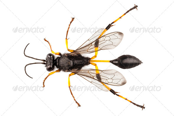 Wasp mud dauber species sceliphron destillatorium - Stock Photo - Images