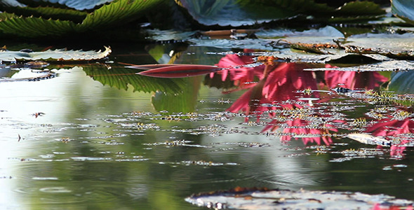 VideoHive Lotus Reflection 5477823