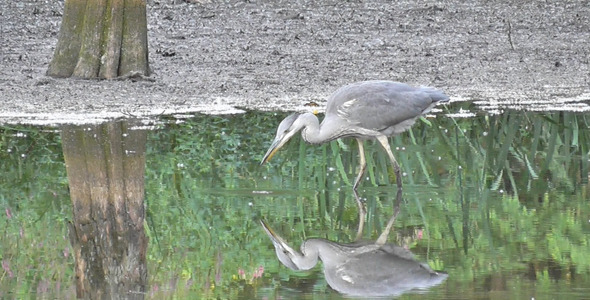 Grey Heron Fishing In Pond