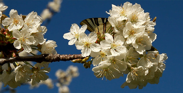VideoHive Butterfly On Cherry Flower 5490237