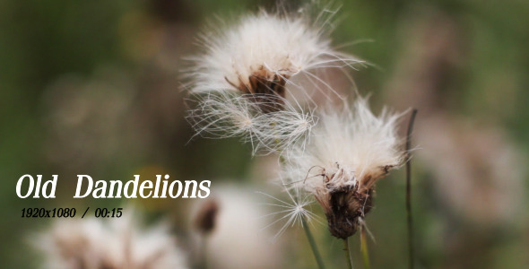 VideoHive Old Dandelions 5493127