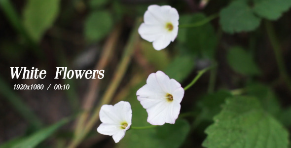 VideoHive White Flowers 5493158