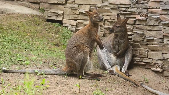 VideoHive Kangaroo 5497207