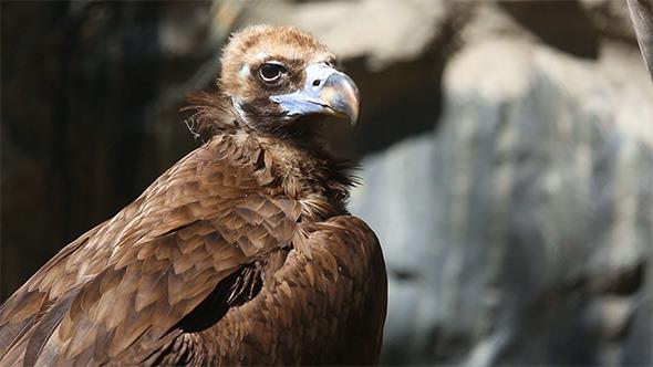 VideoHive Vulture 5497318