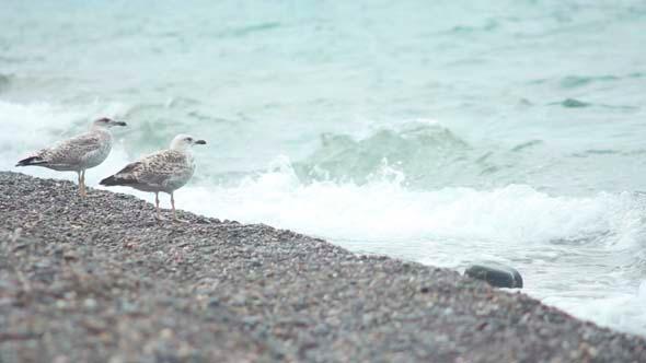 VideoHive Gulls on the Beach 6 5499627