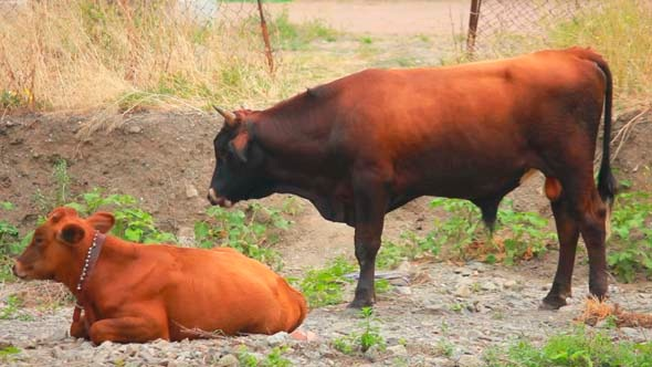 Cows 1