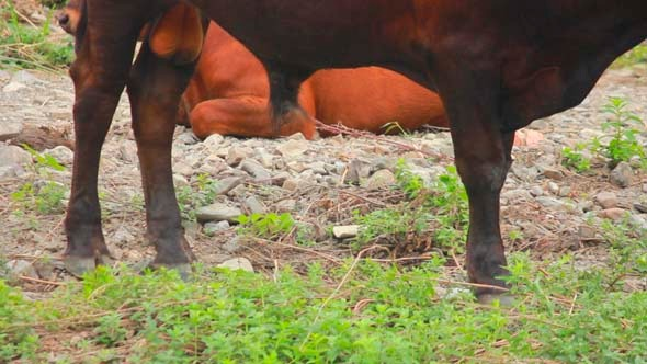 VideoHive Cows 3 5503326