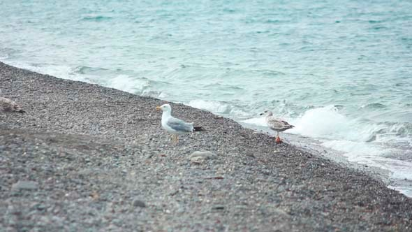 VideoHive Gulls on the Beach 1 5503341