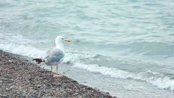 VideoHive Gulls on the Beach 3 5503366