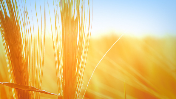 VideoHive Wheat Background 5507066