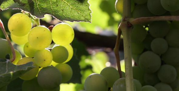 VideoHive Grapes 5507442