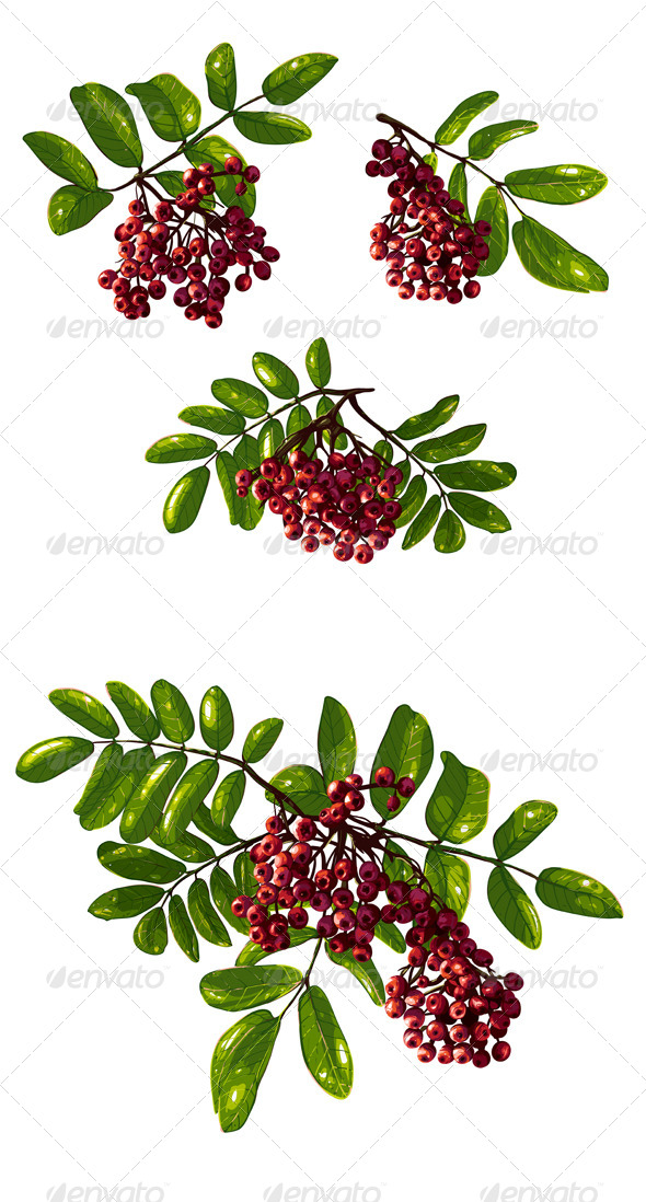 GraphicRiver Ashberry Branch Composition with Berries 5515508