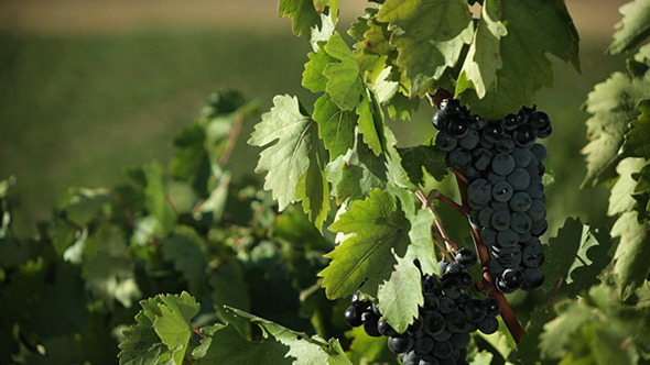 VideoHive The Grapes on the Vine 5522269