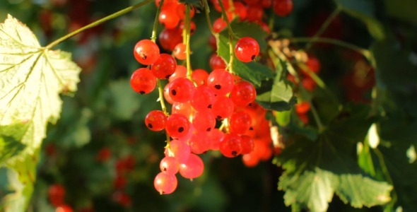 VideoHive Picking Harvest of Red Currant 5523016