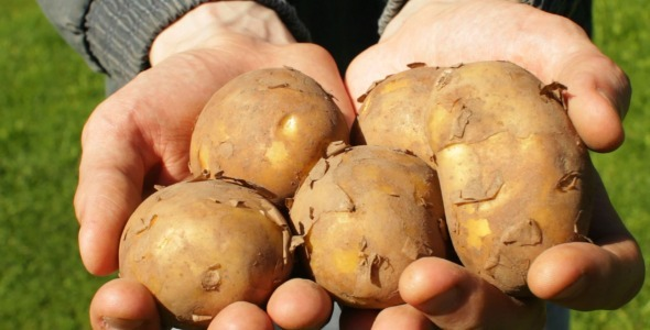 VideoHive Farmer s Hands With Harvest of Potatoes 5523710