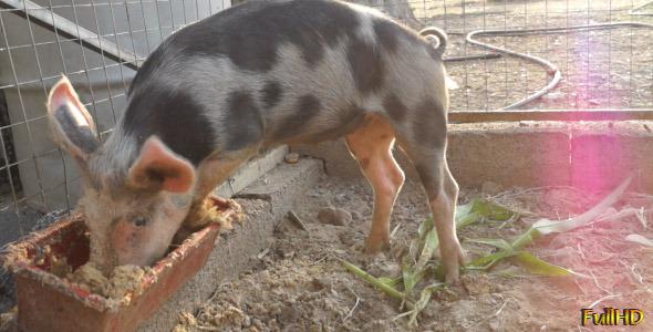 Pig Eats Greedily