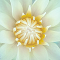 White lotus yellow pollen - PhotoDune Item for Sale