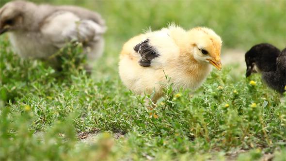VideoHive Baby Chicks 5532521