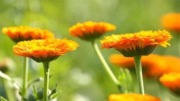 VideoHive Calendula Flowers 5532606