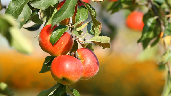VideoHive Red Apples 5532620