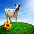 White Goat - PhotoDune Item for Sale
