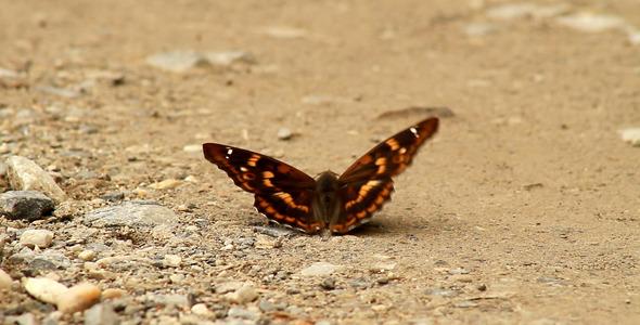 VideoHive Apatura Ilija Butterfly 5545866