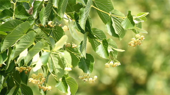 VideoHive Flowers of Linden Tree 5545950