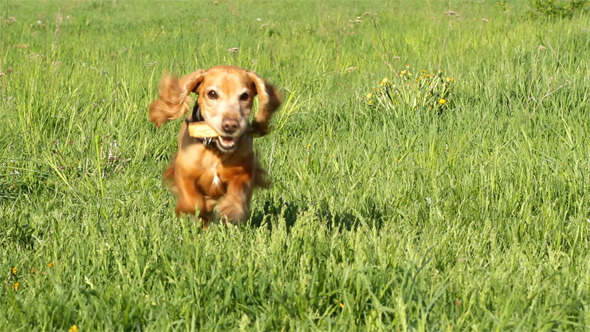 VideoHive Running Cocker Spaniel 5546330
