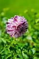 Dahlia Marble Ball - PhotoDune Item for Sale