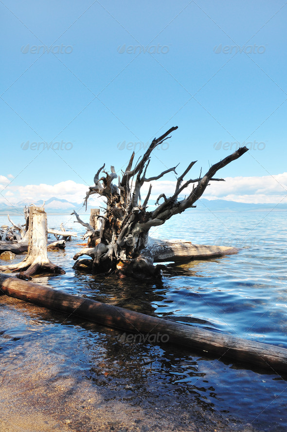 Wild Nature. Dead Trees On The Shore Of Lake Hovsgol. - Stock Photo - Images