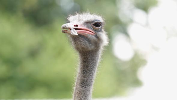 VideoHive Portrait of Ostrich 5555070