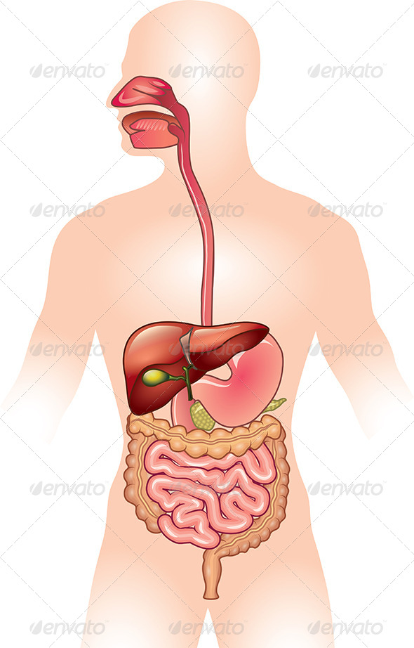 GraphicRiver Human Digestive System Vector Illustration 5555330