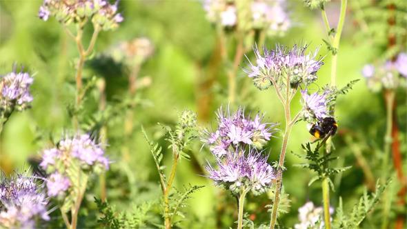 VideoHive Bumblebee and Phacelia Flower 5555367