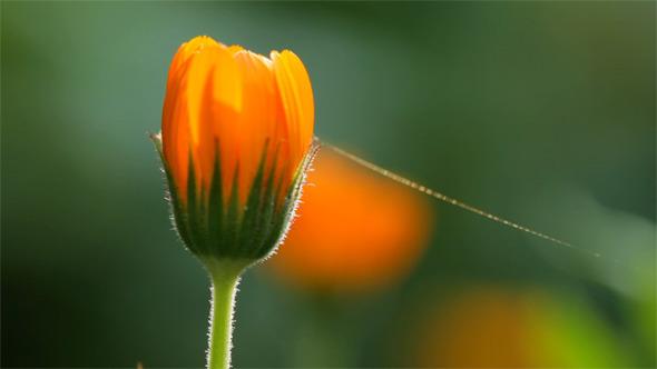 VideoHive Calendula Flower 5562069