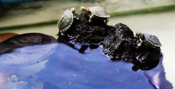 VideoHive Turtles On The Rocks 5562218