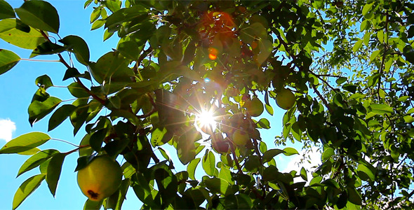 Pear Tree 1
