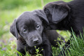 Cute Dog Labrador Puppies - PhotoDune Item for Sale