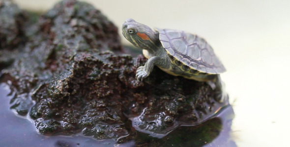 VideoHive Turtle On A Rock 5562608