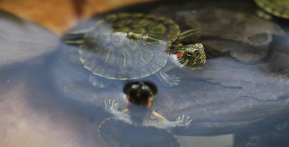 VideoHive Turtles Swim 5562756